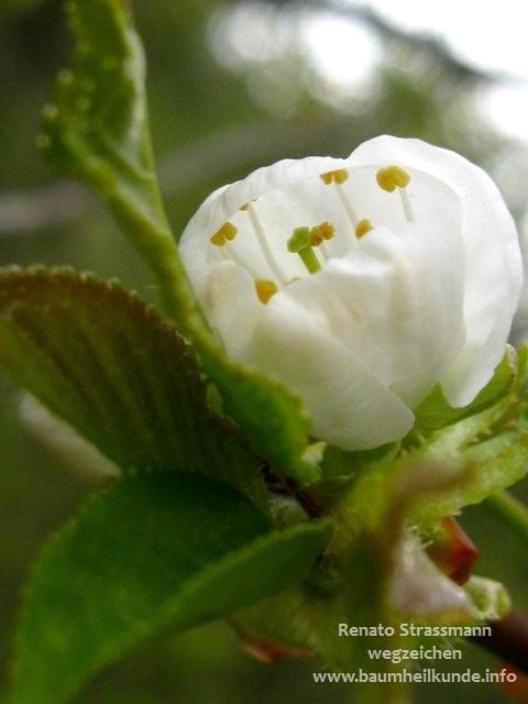 Kirschenblüte